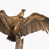 Whitebacked Vulture perched with spreaded wings