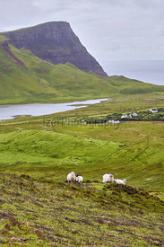 Sheep feeding on the green pastures on a remote farm, Ramasaig near Dunvegan on the Isle of Skye, Scotland, UK.