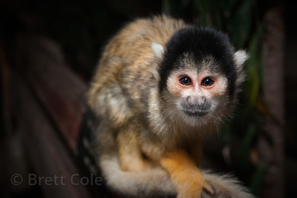 Common squirrel monkey (Saimiri sciureus), World of Birds, South Africasss