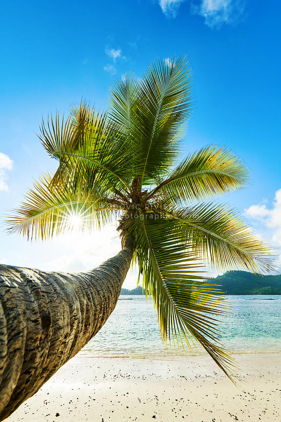 coconut palm tree on beach Baie Lazare, seychelles