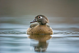Wood Duck (Aix sponsa) female on lake surface just prior to flying up to a nest box during nesting season, Fawn Lake, Olympic...