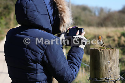 Confiding European Robin (Erithacus rubecula) posing to be photographed on a mobile phone by a visitor to Leighton Moss (RSPB...