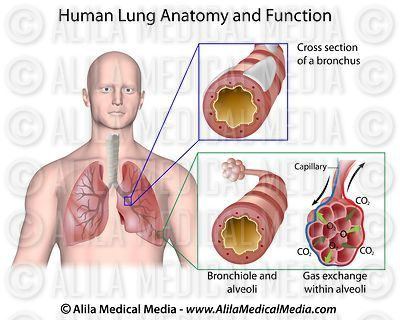 Human lung anatomy and function