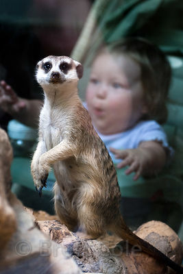Meerkat (Suricata suricatta), National Zoo, Washington D.C.