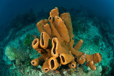 Brown tube sponge (Agelas tubulata) in the reef, North Sulawesi, Indonesia