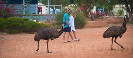 Emus walking around camping site in Westren Australia