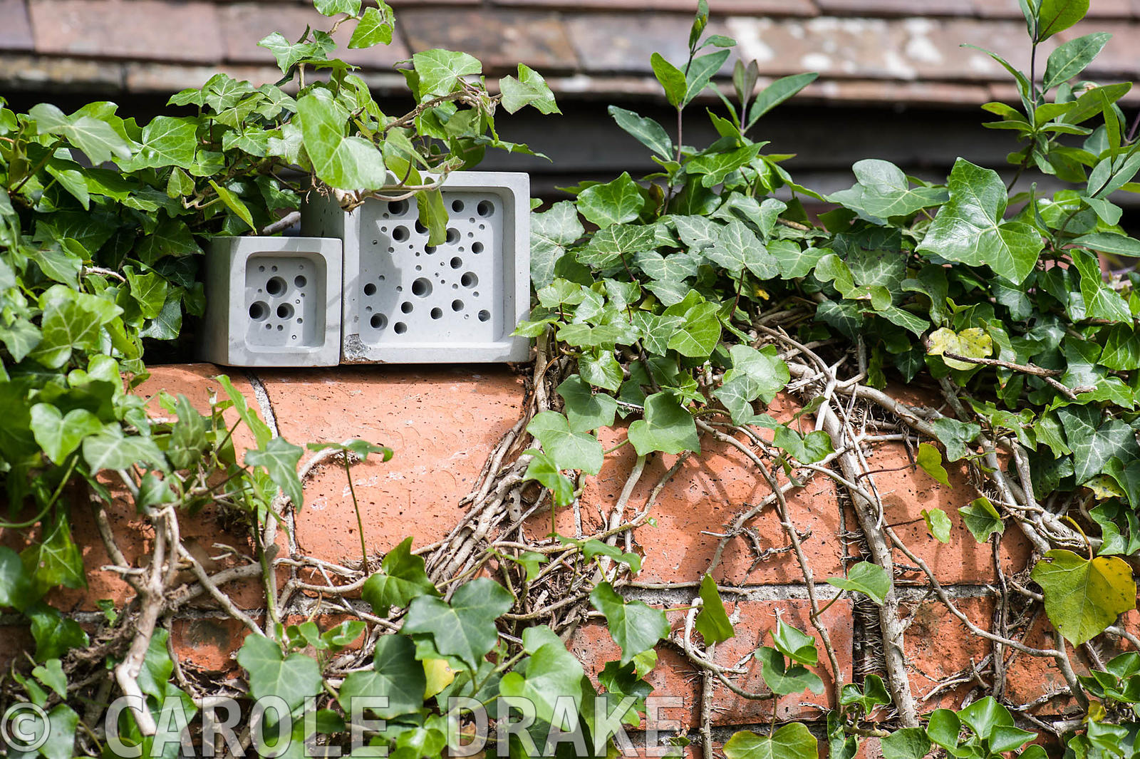 Bee bricks, for solitary bees to make their nests in, on a brick wall surrounded by ivy.