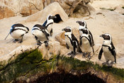 African penguins, Two Oceans Aquarium, Victoria & Alfred Waterfront, Cape Town, South Africa