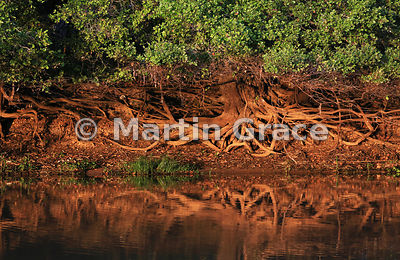 Beautiful golden early morning sunlight illuminates the exposed roots of a riverside tree, River Cuiabá, Mato Grosso, Brazil