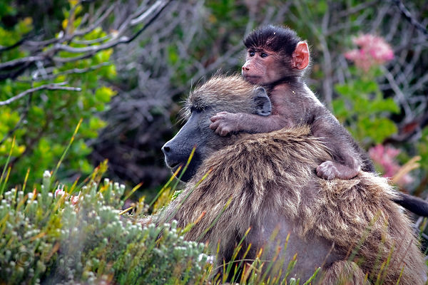 An adult female baboon from the Kanonkop troop carrying her baby in Smitswinkel Flats, Cape Peninsula, South Africa