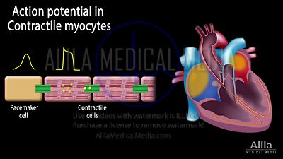 Cardiac action potential NARRATED animation part 2 - Contractile myocytes