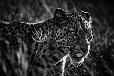 02416-Leopard_Laurent_Baheux