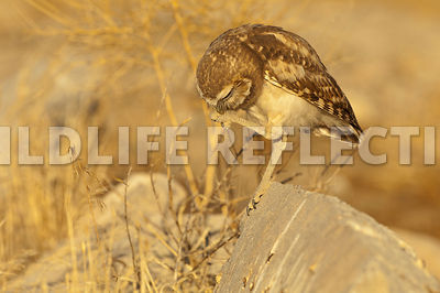 burrowing_owl_foot_preen_1