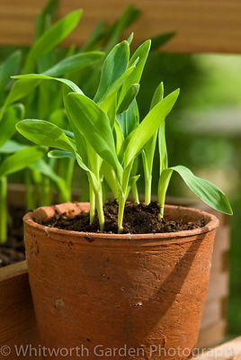 Sweetcorn seedlings growing in a terracotta pot on a greenhouse shelf. © Rob Whitworth