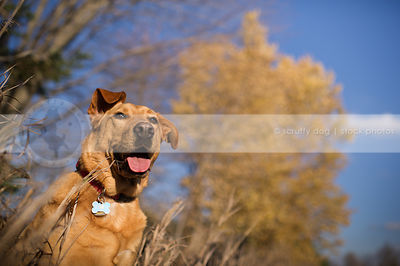 expressive tan cross breed dog in sunshine with trees and sky