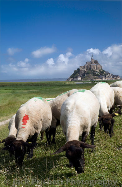 Normandy sheep graze with Mont St-Michel in background