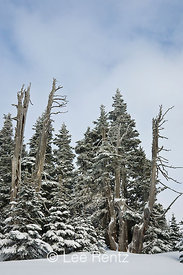 Subalpine forest after a snowstorm on Hurricane Ridge, Olympic National Park, Olympic Peninsula, Washington, USA, March, 2009...