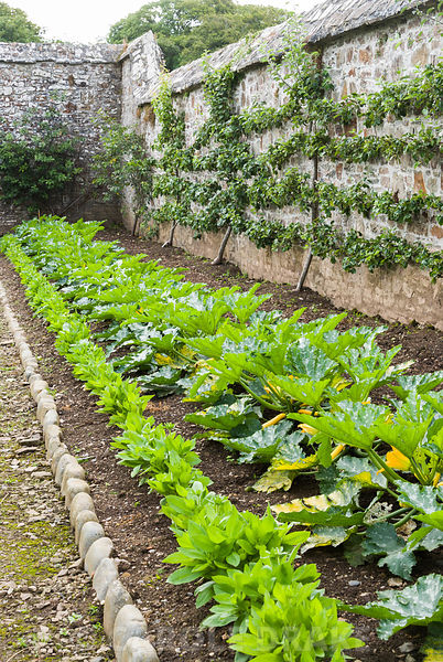 Line of courgette plants including yellow variety 'Parador' with trained espaliered pear trees behind. Clovelly Court, Bidefo...