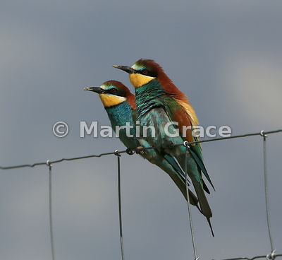 Pair of European Bee-Eaters (Merops apiaster) perching on a wire fence, Steppes of Belén, Extremadura, Spain