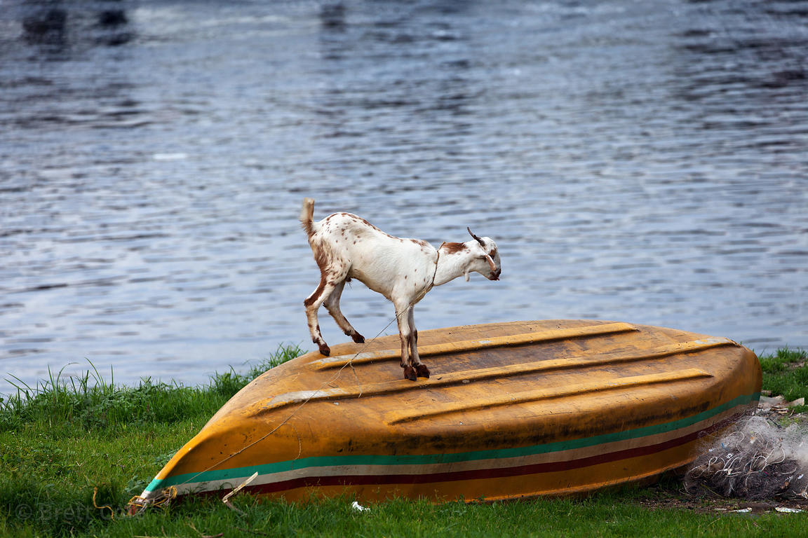 A goat stands on a boat on Mahim Bay, Mumbai, India.