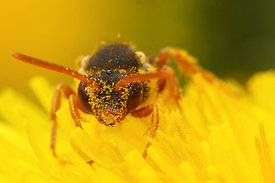 Nomada fulvicornis on Taraxacum officinale