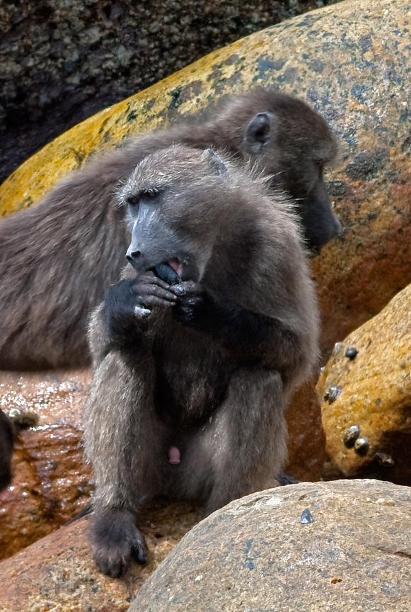Chacma baboons from the Smitswinkel troop eat shellfish along the coast near Miller's Point. Cape Baboons are the only baboon...