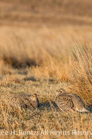 Sharp-tailed Grouse Males Facing-off on Lek in the Nebraska Sandhills