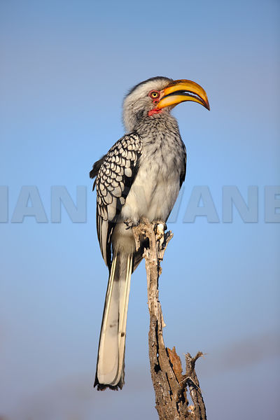 Southern Yellowbilled Hornbill against blue sky