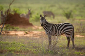 Burchell's zebra (Equus burchellii), Tsavo East National Park, Kenya