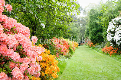 The Azalea Walk is a feast of pinks and orange during May with a backdrop of mature trees including Davidia involucrata, the ...