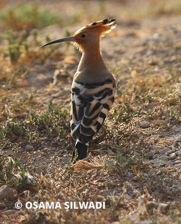 Birds of Palestine - Hoopoes