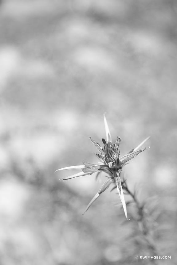INDIAN PAINTBRUSH MESA VERDE NATIONAL PARK COLORADO BLACK AND WHITE