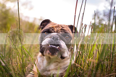 portrait of intense bulldog with underbite staring in natural setting