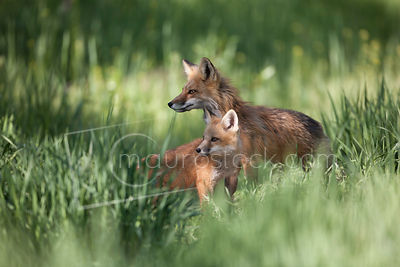 Red Fox_MG_3570