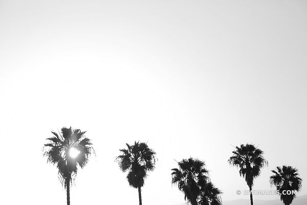 PALM TREES AT SUNSET LOS ANGELES CALIFORNIA BLACK AND WHITE