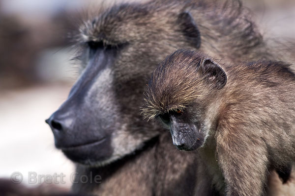 Alpha male chacma baboon from the Buffels Bay troop, Cape Peninsula, South Africa