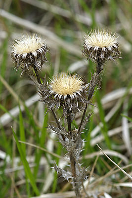 Carlina vulgaris, Viroin