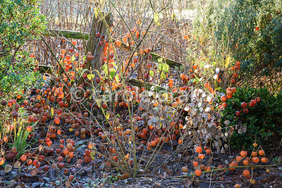 Seedheads of Physalis alkekengi and Lunaria annua in winter