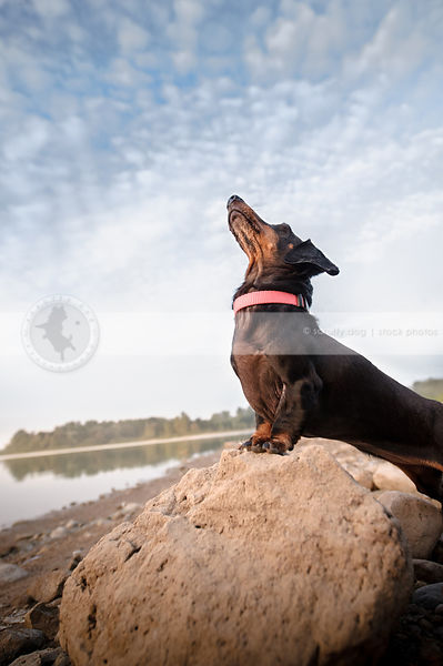 shorthaired dachshund perched on beach rock looking skyward