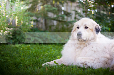 portrait of handsome regal white dog posing lying in yard with fence