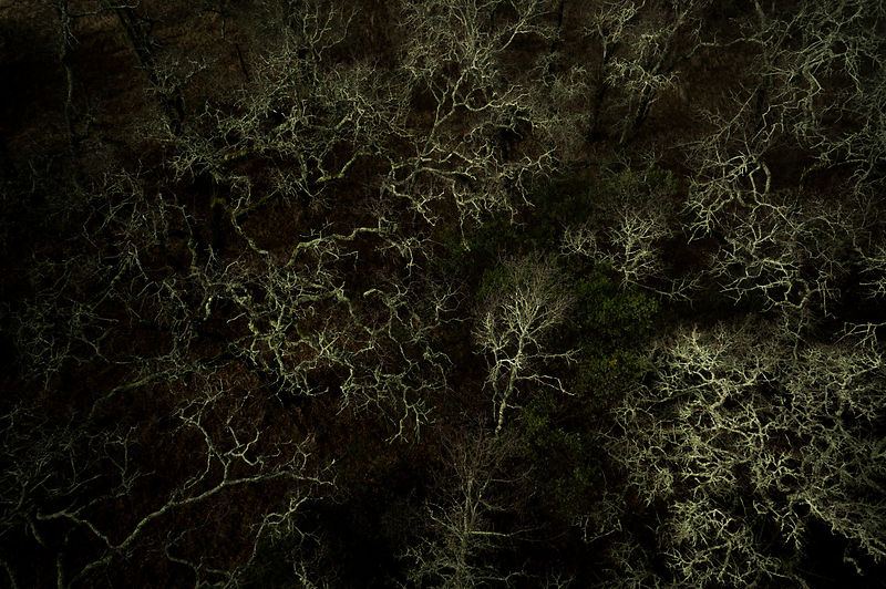 Aerial of bare oak tree canopies in the forest.