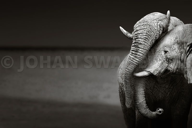 Elephants interacting gently - b&w fine art