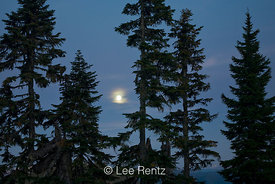 Conifers and a rising moon at twilight viewed from the Railroad Grade Trail, Mt. Baker–Snoqualmie National Forest, Washington...