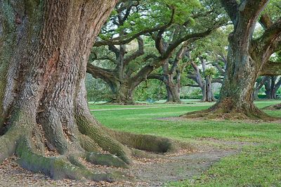 Oak Alley Oaks