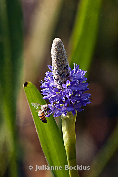 Pickerelweed with Bee