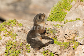 new_zealand_fur_seal_pup_shore-4