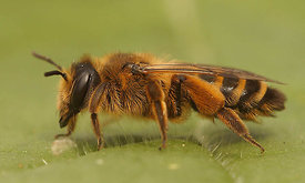 Andrena flavipes - Grasbij : 2nd generation female