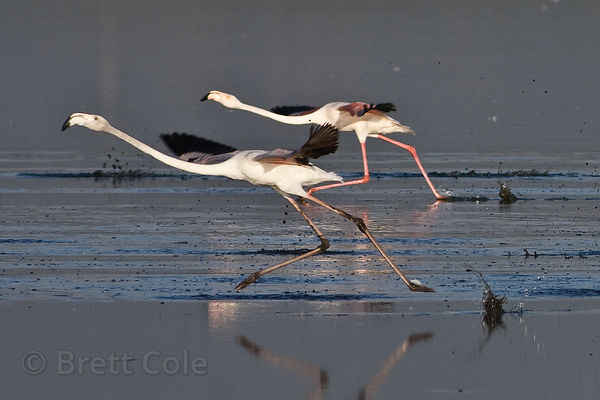 Greater flamingos (Phoenicopterus roseus) kicking up mud as they run to take off, Strandfontein, South Africa