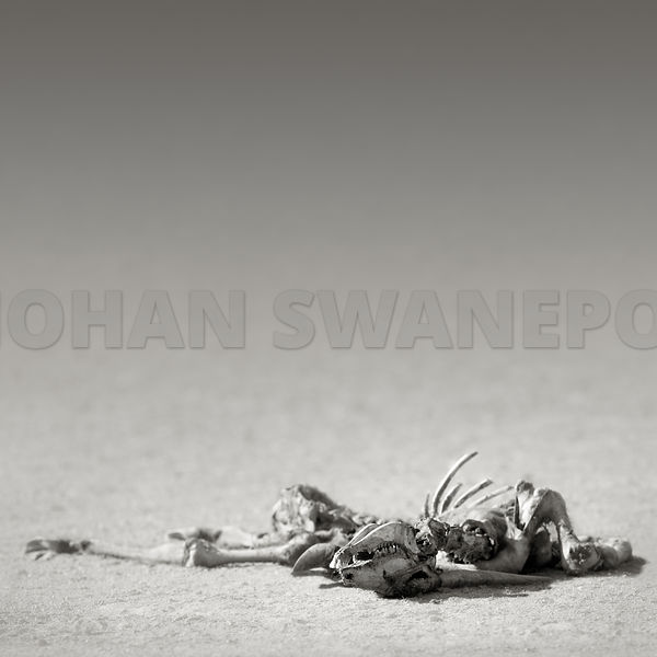Eland skeleton lying in the desert - b&w fine art