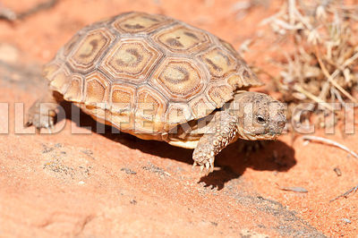desert_tortoise_baby_rock_walking_8